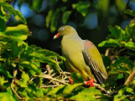 African Green Pigeon at Pretoriuskop Camp in the Kruger Park in South Africa.