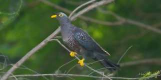 African Olive Pigeon in Sandton, Gauteng, South Africa.