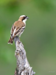 White-browed Sparrow-Weaver in Mashatu