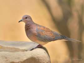 Laighing Dove in Mashatu