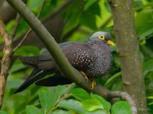 African Olive Pigeon roosting.
