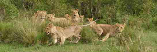 Photographic safari in Masai Mara,Kenya