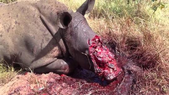 rhino-poaching1