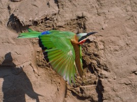 White-fronted Bee-eater flying in front of its nesting bank in Mashatu.
