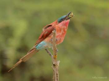 Carmine Bee-eater eating a bee in Mashatu.