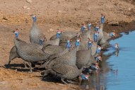 A small flock of Helmeted Guineafowl have come down to drink at the Chudob waterhole in Etosha.