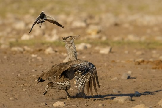Blacksmith Lapwing dive bombing a Kori Bustard at Chudob waterhole in Etosha.