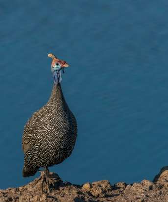 Lone Helmeted Guineafowl at the Chudob waterhole in Etosha.