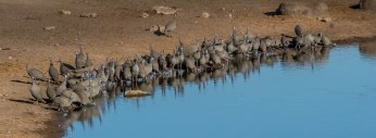 A moderate sized flock of Helmeted Guineafowl have come down to drink at the Chudob waterhole in Etosha.
