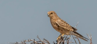 Greater Kestrel in a thorn bush along Fisher's pan in Etosha.