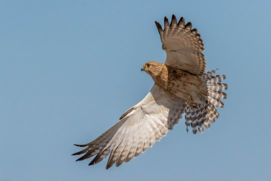Greater Kestrel takes off from its thorn three perch along Fisher's pan in Etosha.