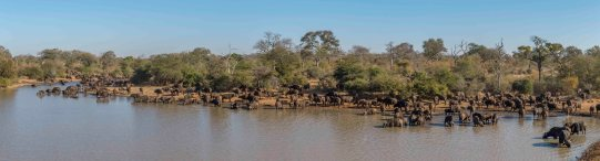 Buffalo herd drink in the morning down at a dam in the Timbavati.