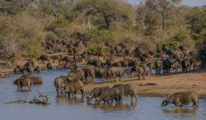 A large herd of buffalo in the Timbavati.