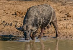 "An old ""dagga boy"" at the back of the herd at a dam in the Timbavati."