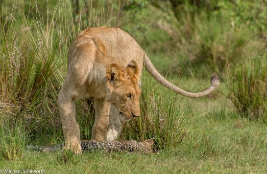Photographic safari in Masai Mara,Kenya -----------------Shooting data--------------------------- 1/1/1600, f8, iso640, 360mm