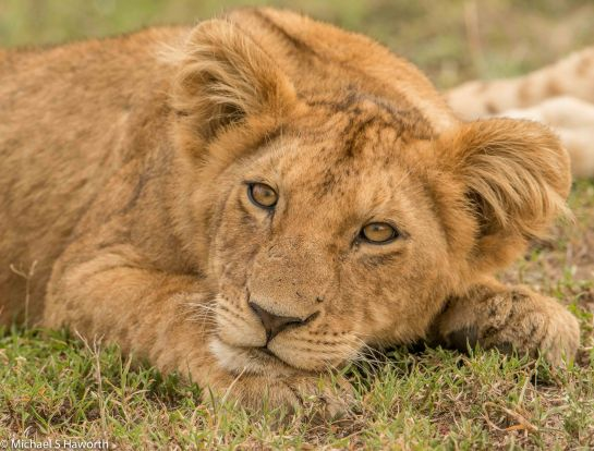 Photographic safari in Masai Mara,Kenya -----------------Shooting data--------------------------- 1/1/160, f8, iso500, 600mm