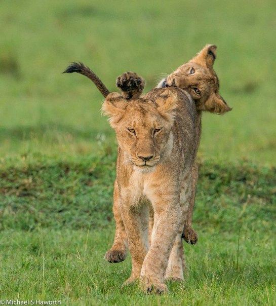 Photographic safari in Masai Mara,Kenya -----------------Shooting data--------------------------- 1/1/1600, f5.6, iso800, 600mm