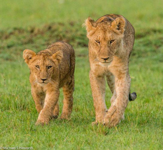 Photographic safari in Masai Mara,Kenya -----------------Shooting data--------------------------- 1/1/1250, f6.3, iso800, 600mm