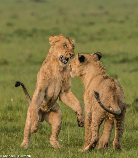 Photographic safari in Masai Mara,Kenya -----------------Shooting data--------------------------- 1/1/1000, f8, iso800, 600mm