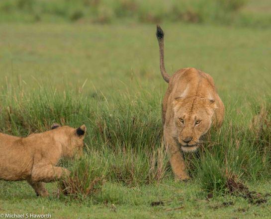 Photographic safari in Masai Mara,Kenya -----------------Shooting data--------------------------- 1/1/1600, f7.1, iso800, 600mm