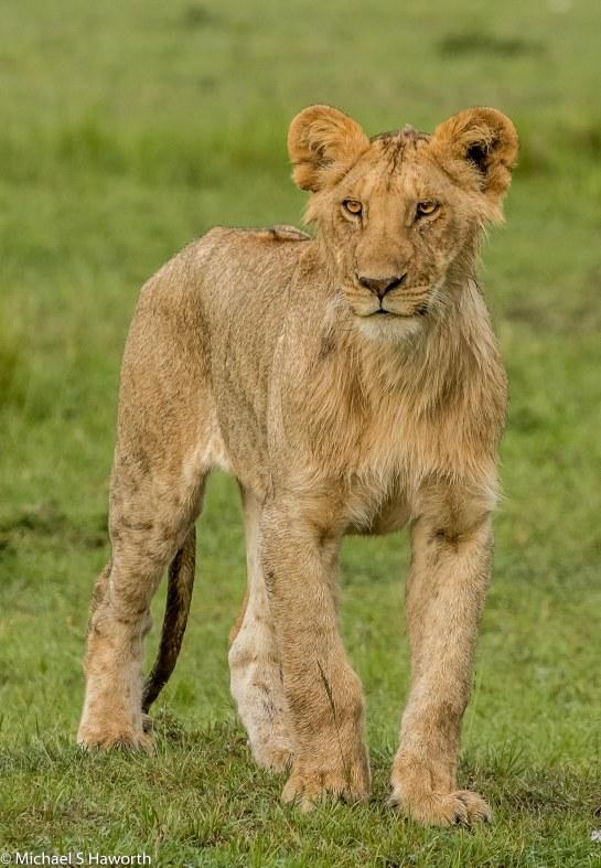 Photographic safari in Masai Mara,Kenya -----------------Shooting data--------------------------- 1/1/500, f9, iso1000, 400mm