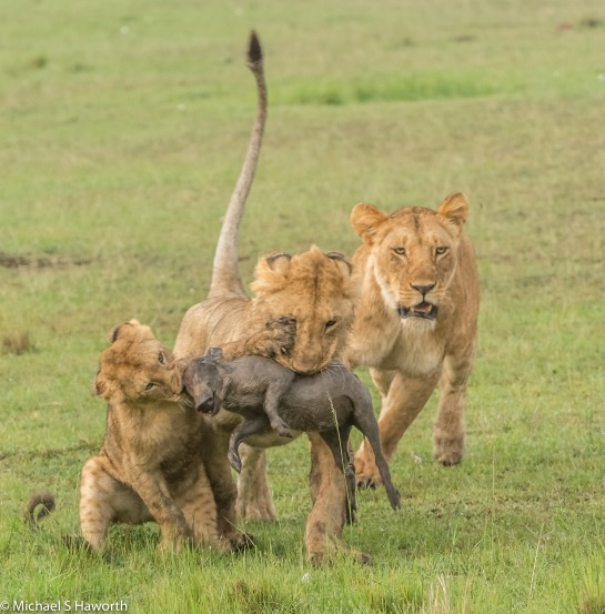 Photographic safari in Masai Mara,Kenya -----------------Shooting data--------------------------- 1/1/250, f9, iso1000, 270mm