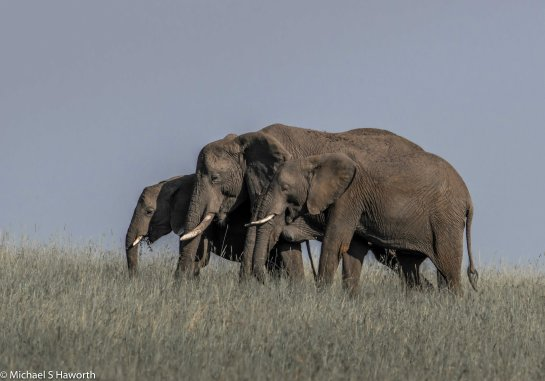 Photographic safari in Masai Mara,Kenya -----------------Shooting data--------------------------- 1/1/2000, f14, iso1000, 600mm