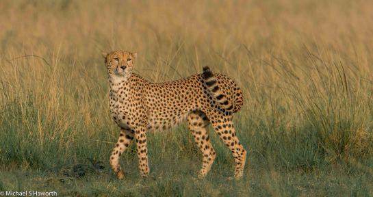 Photographic safari in Masai Mara,Kenya -----------------Shooting data--------------------------- 1/1/3200, f11, iso1000, 850mm