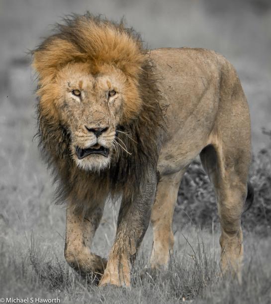 Photographic safari in Masai Mara,Kenya -----------------Shooting data--------------------------- 1/1/2500, f7.1, iso800, 600mm