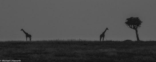 Photographic safari in Masai Mara,Kenya -----------------Shooting data--------------------------- 1/1/4000, f13, iso500, 600mm