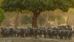 A buffalo herd in Mana Pools, Zimbabwe.. Up close and personal.