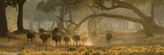 A buffalo herd in Mana Pools, Zimbabwe.