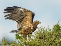 Lesser Spotted Eagle in Mashatu