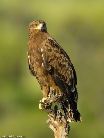 Lesser Spotted Eagle in Mashatu
