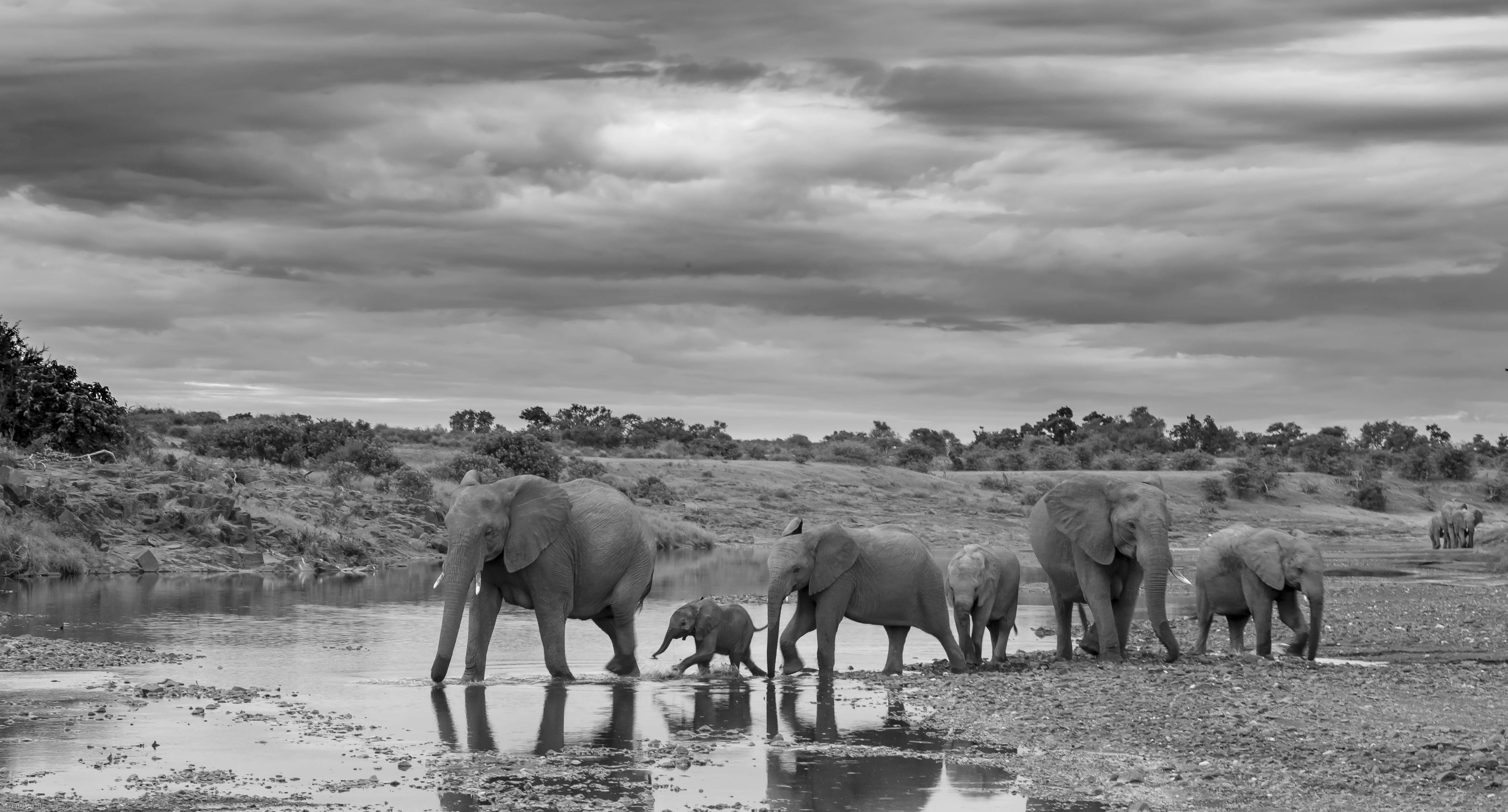 black and white howie u0027s wildlife images