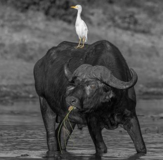 A buffalo bull with some company.