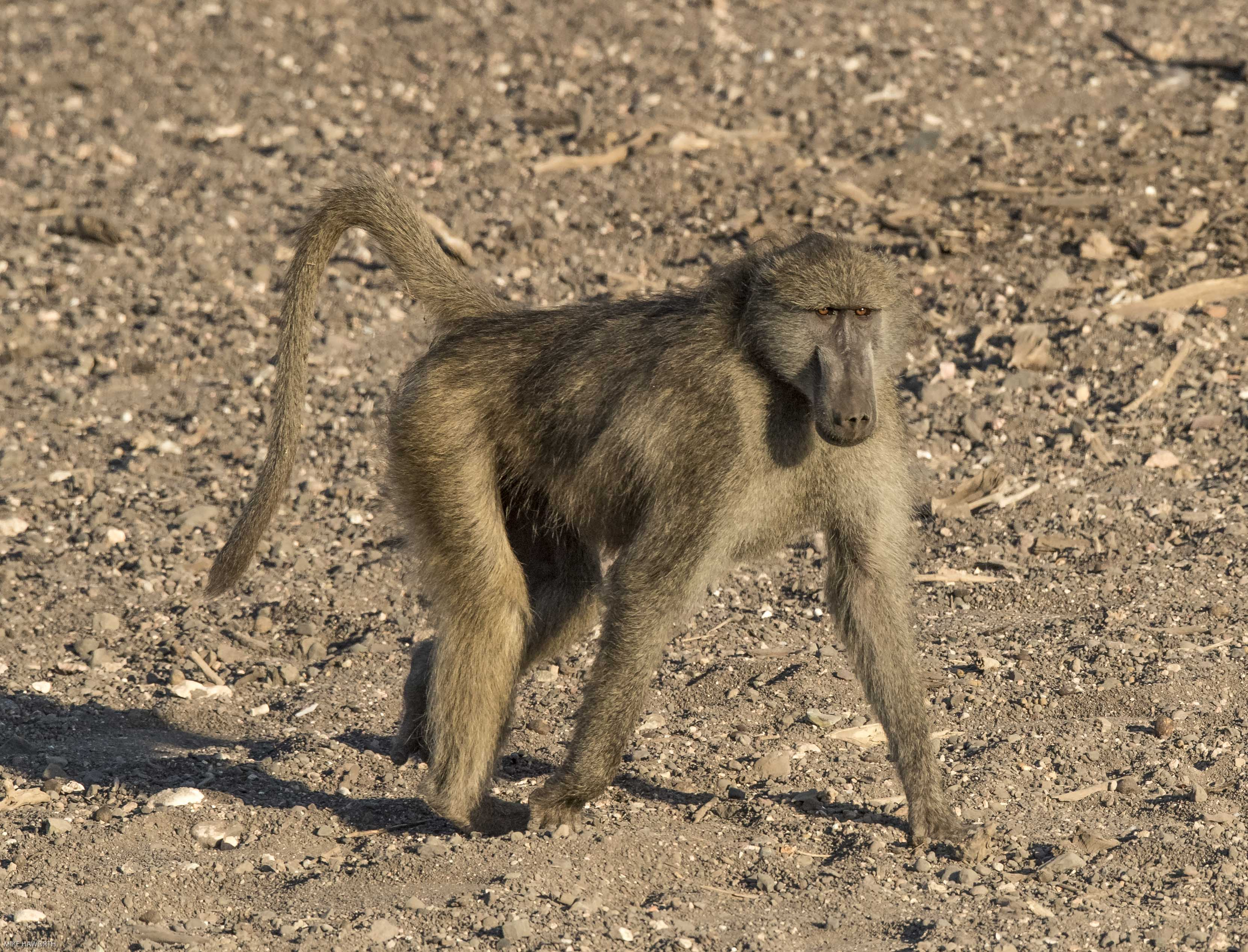 Mashatu baboons